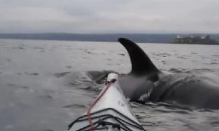 ORCA-VS-KAYAK-Hornby Island